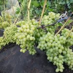 Фото 76: Виноград фото
