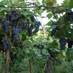 Фото 82: Виноград