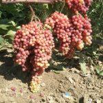 Фото 101: Виноград