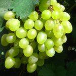 Фото 119: Виноград