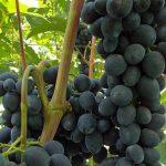Фото 4: Виноград