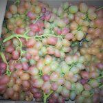 Фото 43: Как размножается виноград