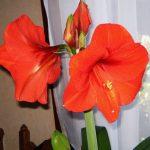 Фото 44: Красный цветок гиппеаструм