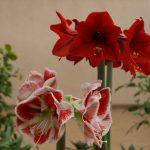 Фото 37: Красный цветок сорт