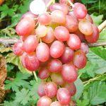 Фото 106: Ливия виноград