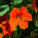 Фото 69: Настурция оранжевая