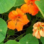 Фото 61: Настурция фото пример цветка