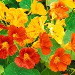 Фото 46: Настурция цветок