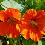 Фото 50: Оранжевая настурция