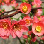 Фото 42: Розовые цветки айвы