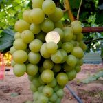 Фото 19: Сорта винограда