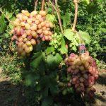 Фото 72: Сорта винограда