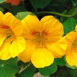 Фото 20: Сорта жёлтый
