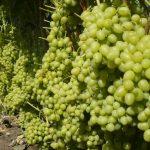 Фото 78: Сорт винограда Аркадий