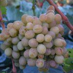 Фото 41: Сорт винограда