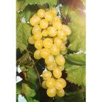 Фото 120: Сорт винограда