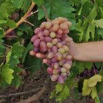 Фото 9: Сорт винограда