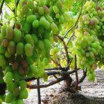 Фото 35: Сорт винограда