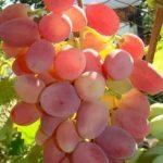 Фото 27: Сорт преображение виноград