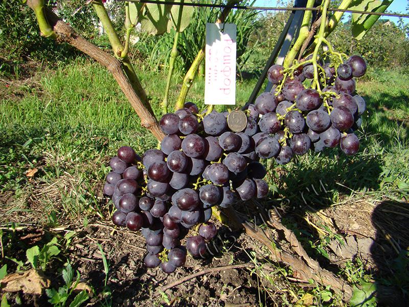 хельсинки виноград рошфор описание сорта фото отзывы фильтры если есть