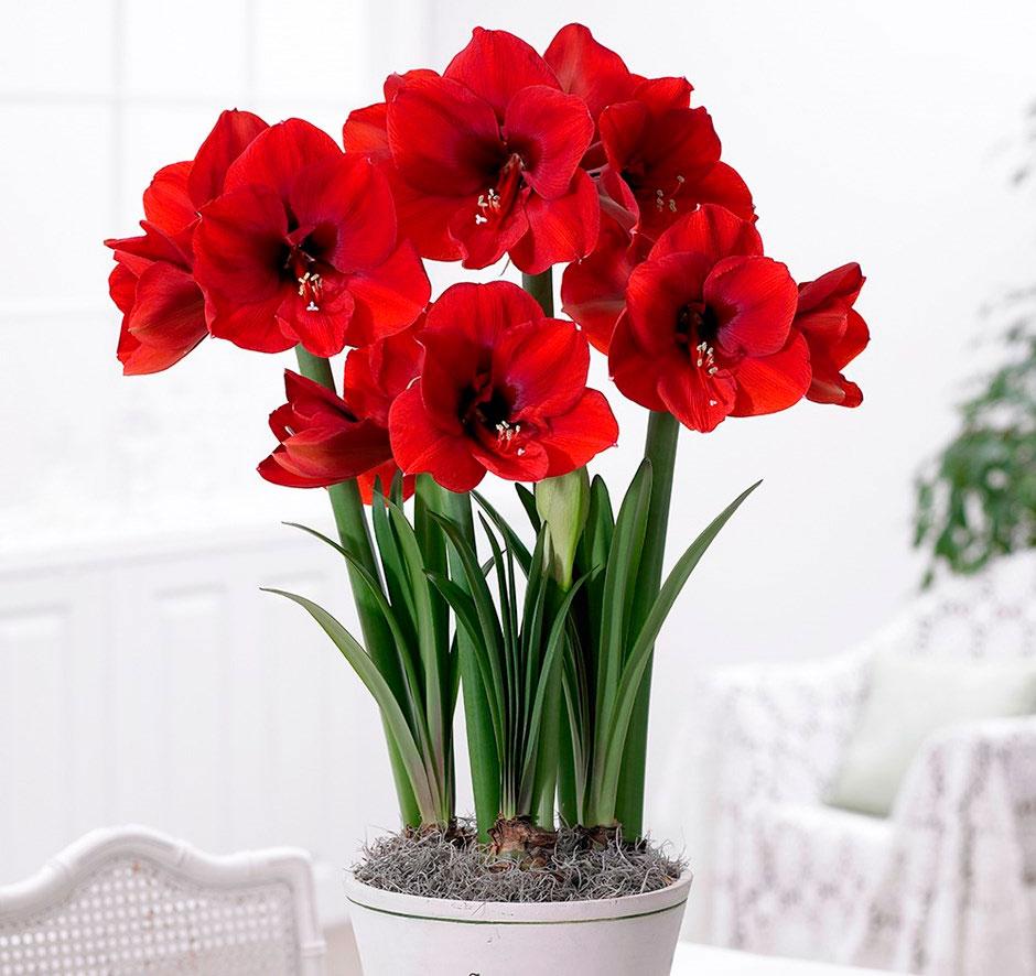 Комнатные цветы клубневые фото и название