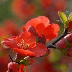 Фото 62: Цветки айвы