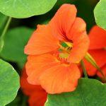 Фото 40: Цветы настурция