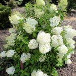 Фото 58: Бобо гортензия цветок