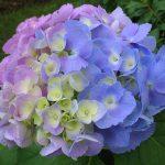 Фото 32: Гортензия голубая и розовая