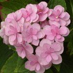 Фото 39: Гортензия розовая картинки
