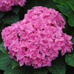 Фото 40: Гортензия розовая фото