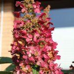 Фото 37: Гортензия розовая