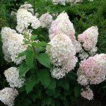 Фото 54: Гортензия садовая