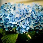 Фото 43: Гортензия фото синяя