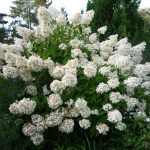 Фото 28: Гортензия цветы