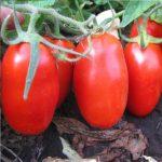 Фото 11: Каспар помидоры
