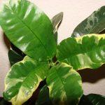 Фото 15: Кротон растение
