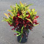 Фото 46: Кротон цветок мамми