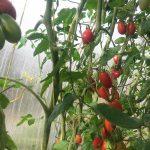 Фото 14: Семена томата
