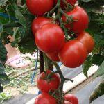 Фото 41: Томат и помидор