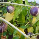 Фото 6: Физалис выращивание