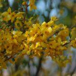 Фото 53: Форзуция жёлтая
