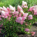 Фото 7: Цветок гортензия