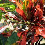 Фото 51: Цветущий кротон