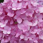 Фото 64: Цветы гортензия