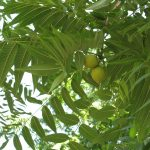 Фото 5: Жёлтый орех