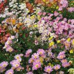 Фото 10: Кустовая хризантема