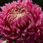 Фото 13: Многолетний цветок - хризантема