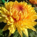 Фото 14: Многолетний цветок