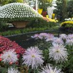 Фото 16: Новые хризантемы